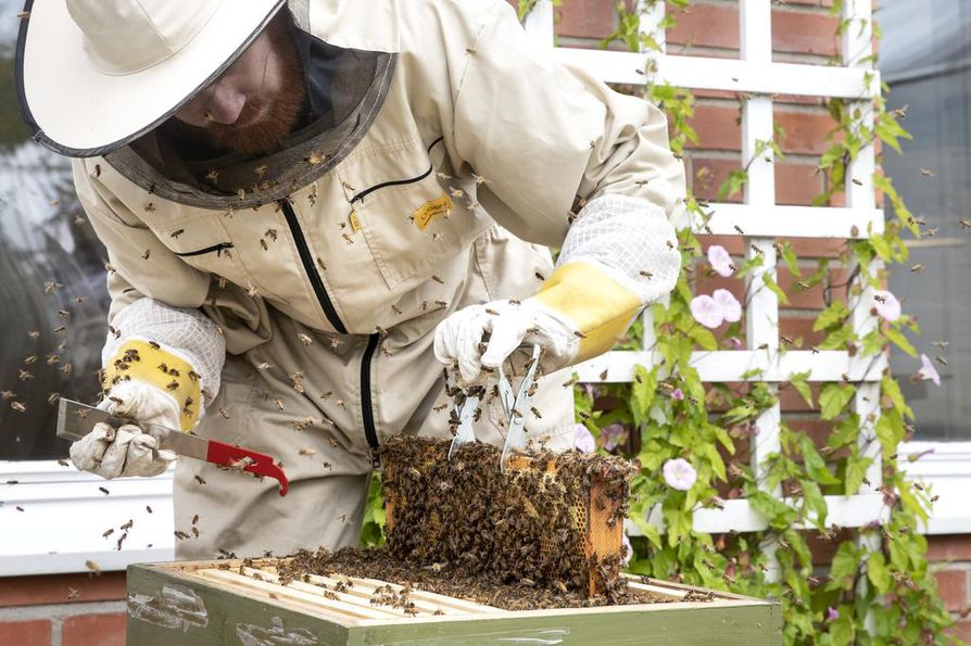 Oulun kasvitieteellisen puutarhan neljästä mehiläispesästä tulee muutamia kymmeniä kiloja hunajaa. Biologi ja mehiläisten hoitaja Juhani Hopkinsin mukaan hunaja käytetään lähinnä hoitajien ja puutarhan väen tarpeisiin.