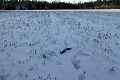 """Suden dna-näytteiden keräyskausi alkaa – Limingassa tehtiin viime talvena tärkeitä havaintoja: """"Jos sudet jäivät alueelle, se tarkoitti, että niillä oli saalis"""""""