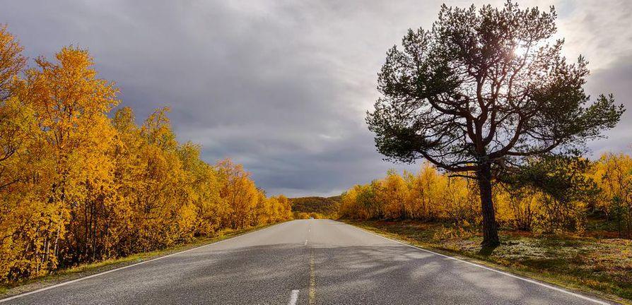 Nelostien pohjoisin mänty ruskan ympäröimänä, kertoo lukija. Pohjois-Lapissa on ollut poikkeuksellisen  hyvä ruska tänä vuonna. Pakkasyöt ja vähäsateinen syyskuu on värjännyt maiseman kauniin keltaiseksi.