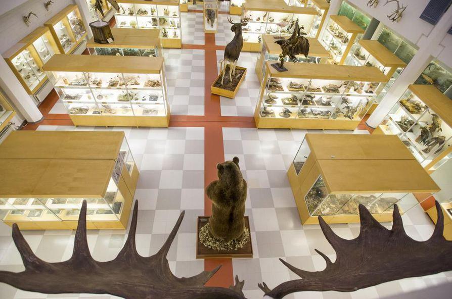 Eläinmuseo saattaa päätyä Pohjois-Pohjanmaan museon alakerrokseen.