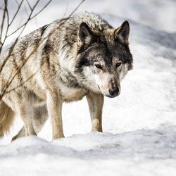Inarissa ammuttiin susi – eri yksilö kuin Ivalossa pihoilla liikkuva koiraeläin