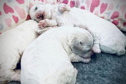 Koiranpentulivessä seurataan tänään, miten emo hoitaa hellästi pentujaan – katso valkoisten palleroiden tunnelmia keskiviikkoaamuna