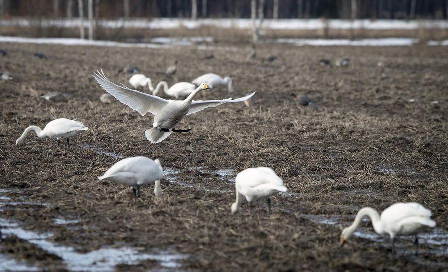 Joutsenet ovat kerääntyneet ruokailemaan Limingan ja Tyrnävän pelloille.