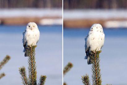 Outo valkoinen pöllö istui männyn nokassa Sodankylässä –Myöhemmin lintubongari kuuli ikuistaneensa hyvin harvinaisen leukistisen suopöllön