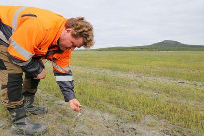 Pahtavaaran kultakaivoksen rikastushiekan päälle kasvaa riistapelto – kylvöksen toimivuutta tutkitaan kaivoksen sulkemisvaihtoehtona