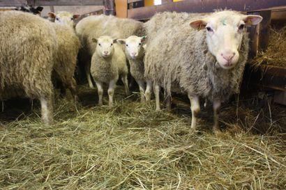 Lammaspaimenia haetaan Utsjoelle, Kemiin ja Lemmenjoelle