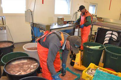 Kalasatama uudistuu – Mourusalmen kalasataman jatkokehittämishankkeessa hankitaan muun muassa massauskone ja kunnostetaan sataman imeytyskenttä