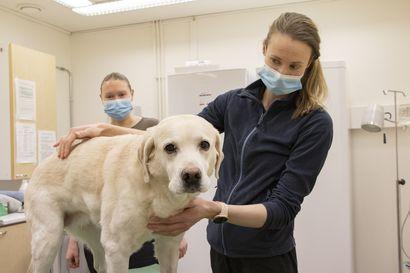 Eläinlääkäriaseman työntekijät auttavat eläimiä yötä päivää – henkilökuntaa on Kestilän vastaanotolla jälleen riittävästi