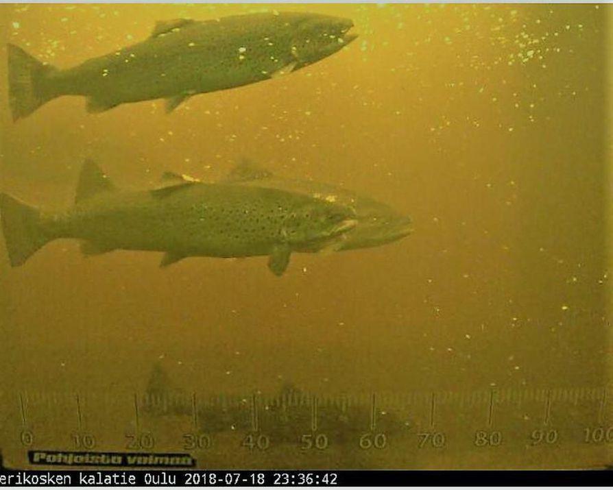 Rasvaevättömiä eli istutettuja meritaimenia uiskenteli Merikosken kalatiellä viime viikolla nettikamerasta otetussa kuvassa.