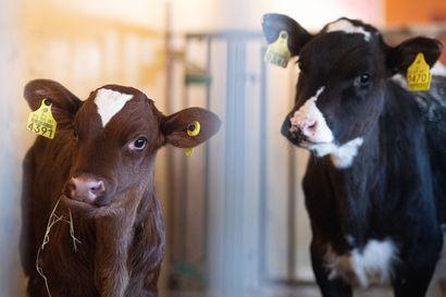 Laadukas maito ei synny sattumalta, haapavetiset Kyösti ja Heikki Ahola ovat tuottaneet korkealaatuista maitoa jo 50 vuoden ajan