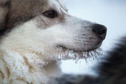 """Skotlantilainen yrittäjä suunnittelee sadan huskyn tarhaa Itä-Kuusamoon – naapureille se ei kelpaa, vaikka koira-ajeluista on jo pulaa: """"Tässä puhutaan tuhansista matkailijoista"""""""