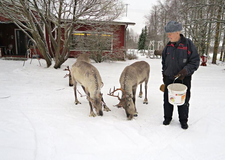 Eino Anttila on yhä ollut porohommissa mukana. Syksyllä hän on laittanut pihalle tulleita poroja aitaan.