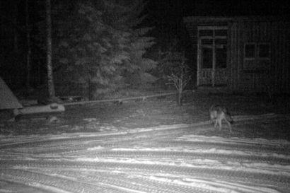 Susi eksyi yöllä liminkalaisen Raimo Heiskarin pihamaalle – sama susi kiertelee myös tyrnäväläisen hevostilan aidanreunoja