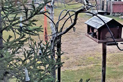 Joululaulun Sylvia talviruokinnalla – harvinainen vieras lintulaudalla Sarakylässä