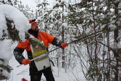 Kun metsurin työt ovat talvitauolla, suomussalmelainen Arto Heikkinen menee tikkaiden kanssa metsään ja tekee tiliä käpyjen keräämisellä – säkillisestä saa sata euroa