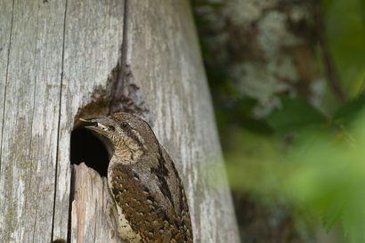 """Käenpiiat asettuivat taloksi Kurkijärvellä – video näyttää, kuinka poikanen matkii kiemurtelemalla käärmettä: """"Käytös on linnuille täysin ainutlaatuista"""""""