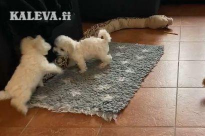 Kalevan koiranpentulive: Valkoiset pörriäiset olivat vauhdissa keskiviikkoaamuna