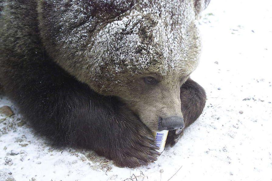 Kuusamon Niisku-karhu on käynyt jo talvipesästään ulkona.