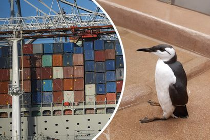 """Korkeasaari sai ilmoituksen rahtialuksen mukana tulleesta pingviinin näköisestä """"salamatkustajasta"""" – kukaan ei tiedä, miten nuori reissaaja päätyi aluksen matkaan"""