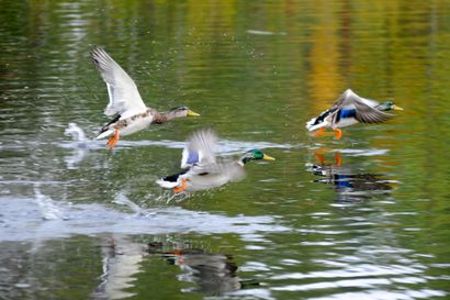 Vesilintujen metsästys alkaa perjantaina – Metsästäjien on tärkeää keskittyä pyynnissä kestäviin lajeihin kuten sinisorsaan