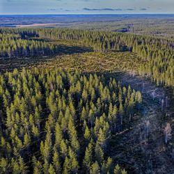 Oulun vaalipiirin kansanedustajat: avohakkuut saavat jatkua – Osa katsoo, että metsien suojelu menee liian pitkälle
