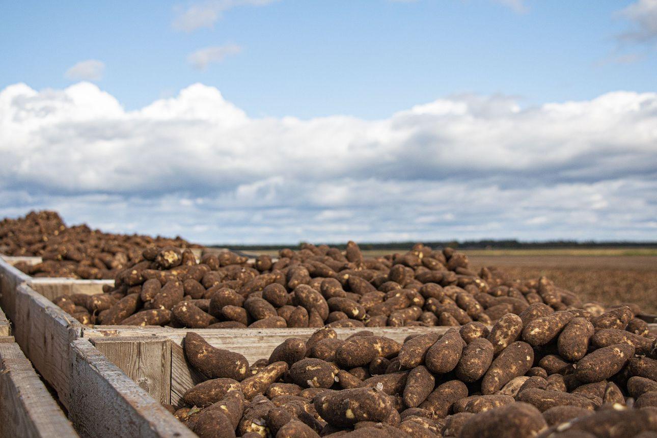 """Perunapitäjän pelloista nousee jo ensi talven perunat ja leipomossa paiskitaan töitä aamuvarhaisesta alkaen – """"Lähiruoassa pääsee maistamaan oman alueensa aitoja makuja"""""""
