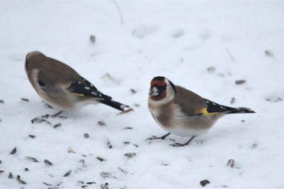 Lintujen kevätmuutto vauhdittuu lähipäivinä