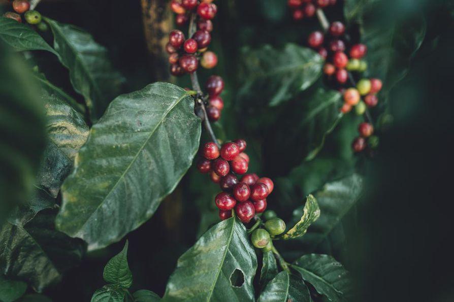 Brasilian seuraavasta kahvisadosta ennustetaan maan historian suurinta.