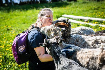 Ahkerat kesätyöläiset siirtyivät Kemin saariin – Lammaspaimenlomista toivotaan uutta hittituotetta luontomatkailulle