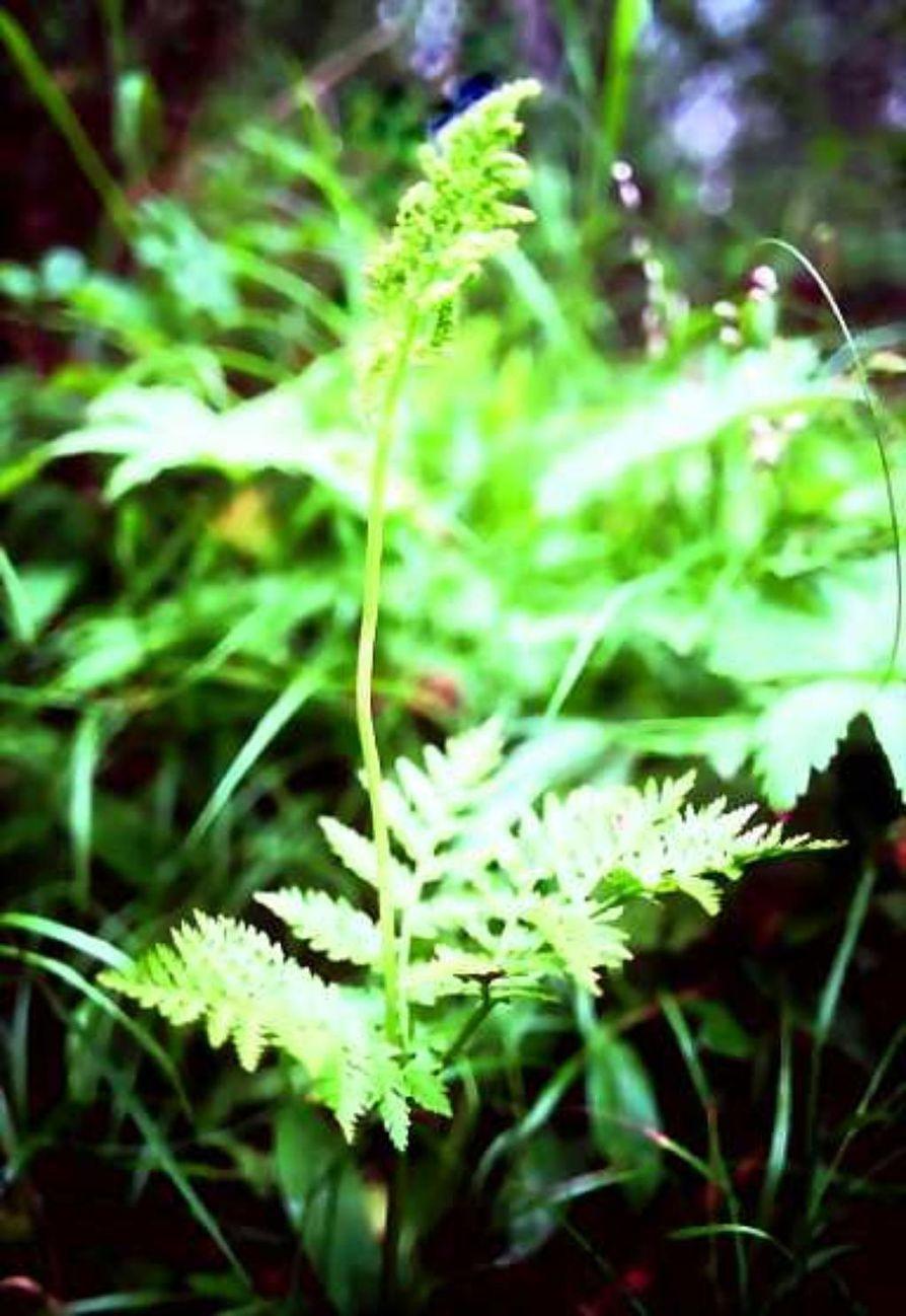 Noidanlukkojen jättiläinen. Lehtonoidanlukko on kalkinvaatija ja tarvitsee lisäksi melkoisesti kosteutta. Kasvupaikat ovat varjoisia lehtoja tai reheviä lettosoita. Kasvi voi kasvaa jopa puoli metriä korkeaksi.