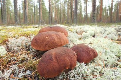 Kysyimme: Voiko sienisatoa ennustaa?