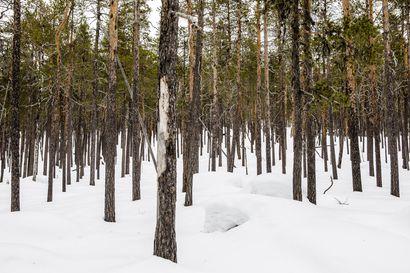 """Yhteismetsät ovat huolissaan uusista suojeluvaatimuksista Lapissa – """"Metsien monimuotoisuutta tulee vaalia siten, että omaisuudensuoja turvataan"""""""