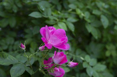 Nyt kukkivat ruusut kauneimmillaan – katso kuvia kauniisti rönsyilevästä pihapiiristä, jossa viihtyvät niin kasvit, eläimet kuin ihmiset