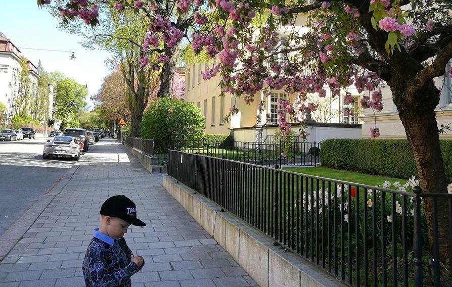 Kukkivien puiden kauneutta Villagatanilla, Östermalmin kaupunginosassa. Maltti-poika etsiskeli turhaan pullonkorkkeja puhtaalta kadulta.