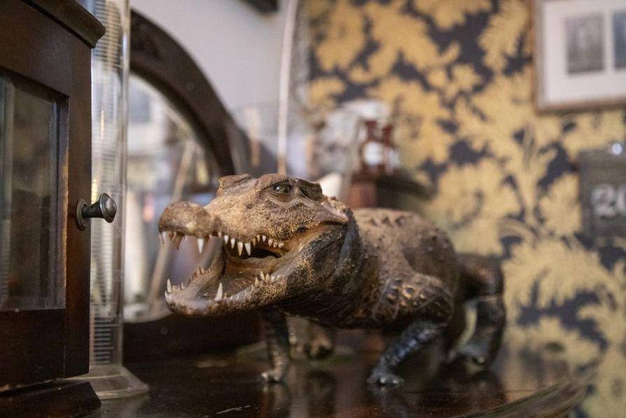 Täytetty alligaattori katselee antiikkilipaston päältä.