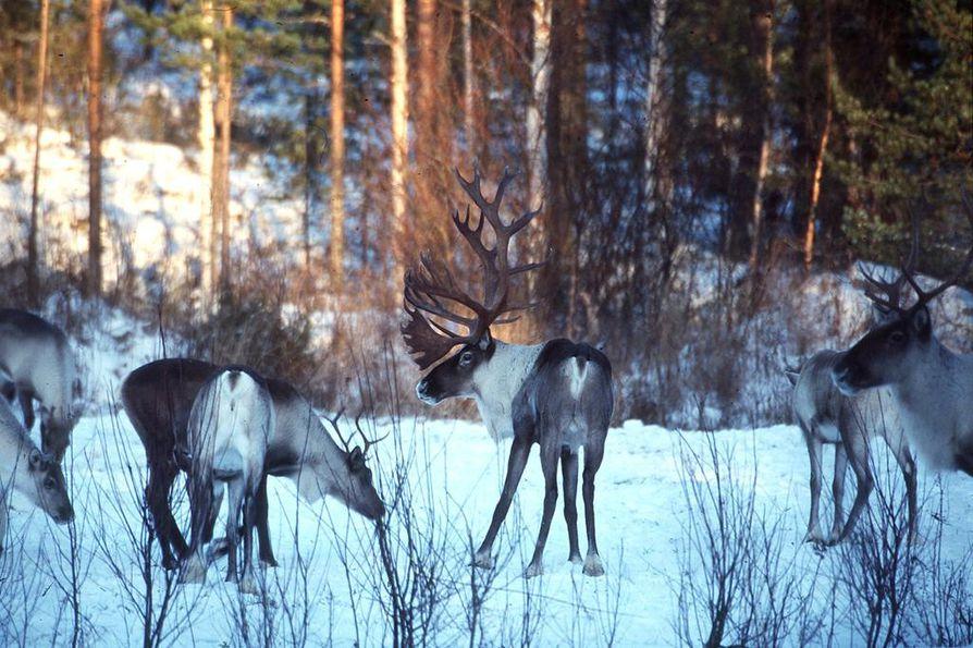 Metsäpeura ammuttiin metsäautotien varrella Haapajärvellä. Arkistokuva.