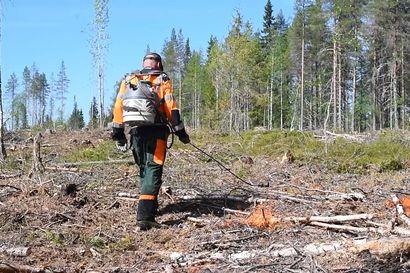 Metsähallitus kulotti pitkästä aikaa Posion Sääskenniemessä.