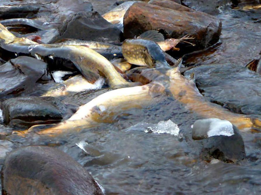 Akionlahden pohjapatoalueelta löytyi satapäin kuolleita haukia ja ahvenia.