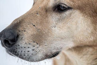 Hellettä on luvassa lähipäivinä – mitä pitää ottaa huomioon koiran kanssa?