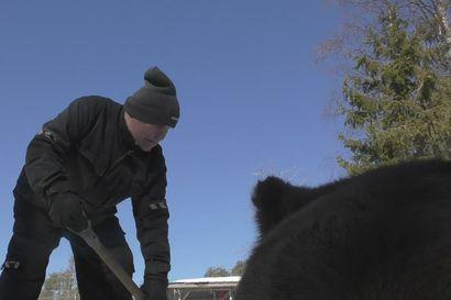 Talviuniltaan heränneet Kuusamon Suurpetokeskuksen karhut temmeltävät keväisessä säässä – meno on niin villiä, että hetken päästä iskee jo väsy