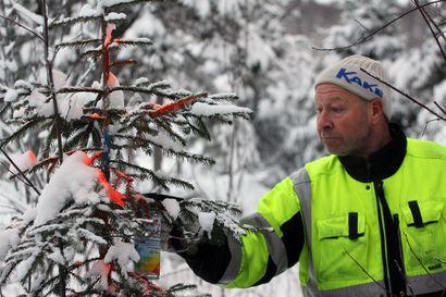 Torniolaisella metsänomistajalla paloivat käämit – Pahimpana vuonna varkaat veivät 158 istutettua kuusta