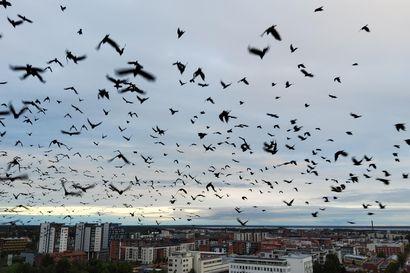 Tuhansien mustien lintujen parvia voi nähdä Oulussa – yöpuulle lentävät naakat raakkuvat pimeässä