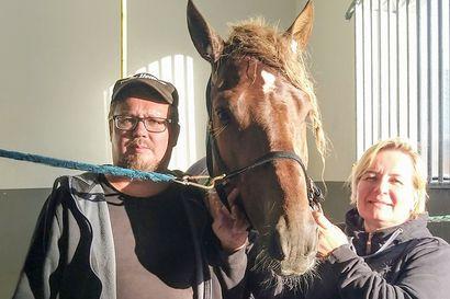 Pohjoisen porukoiden kummisetä – haukiputaalainen Rami Koivisto pyörittää kuutta hevoskimppaa