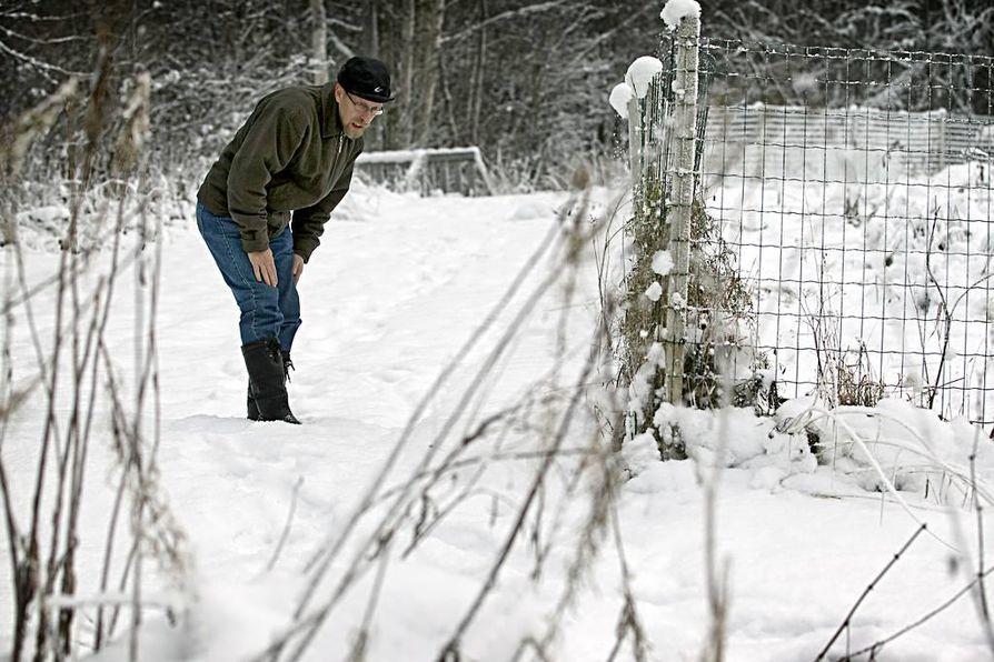 Hannu Pietiläinen etsimässä ilveksen jälkiä koiratarhansa ympäriltä.