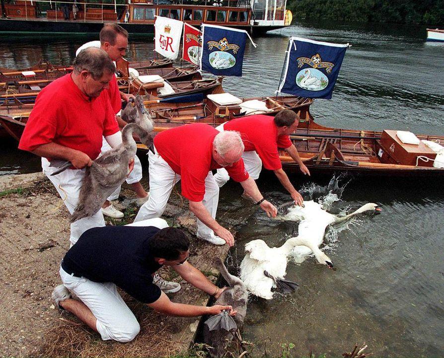 Joutsenten laskeminen on Britanniassa perinteikäs seremonia. Kymmenen vuotta sitten kuninkaallisen perheen palkkaamat joutsenista huolehtivat työntekijät mittasivat, punnitsivat ja merkitsivät linnut Thames-joen varrella.