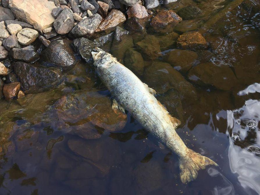 Tornion Ylivojakkalassa Tornionjoen rannalta löytyi sunnuntaina kaksi 6-7-kiloista lohta.