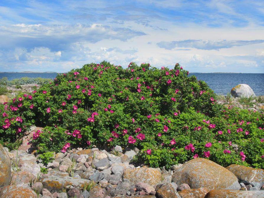 Kauneus on katsojan silmässä, mutta alkuperä ei. Kurtturuusun pahimmat haitat näkyvät rannoilla ja ulkosaarilla, kuten Nauvon ulkosaariston Ytterörenillä.