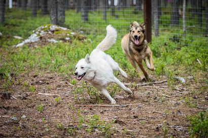 Koiratarhat tarkastetaan kerran vuodessa – Lapissa yrittäjät kohtelevat koiria pääsääntöisesti hyvin