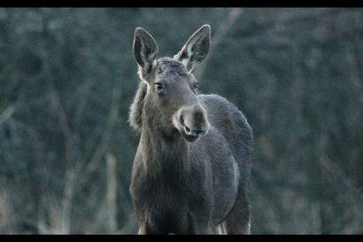 Arvio: Virolaisessa luontodokumentissa pääosaan nousee hirvi