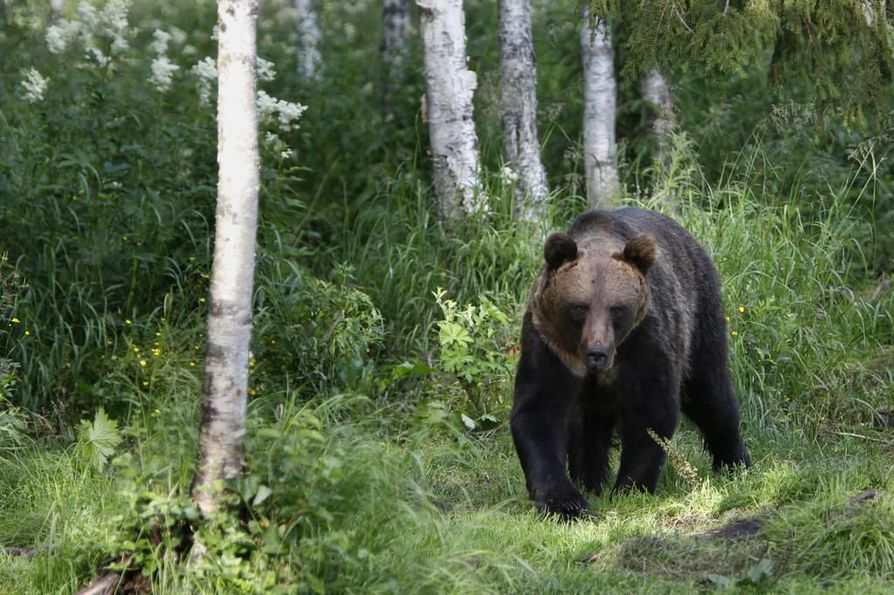 Junaonnettomuudessa loukkaantunut karhu voi olla poliisin mukaan vaarallinen. Arkistokuva.